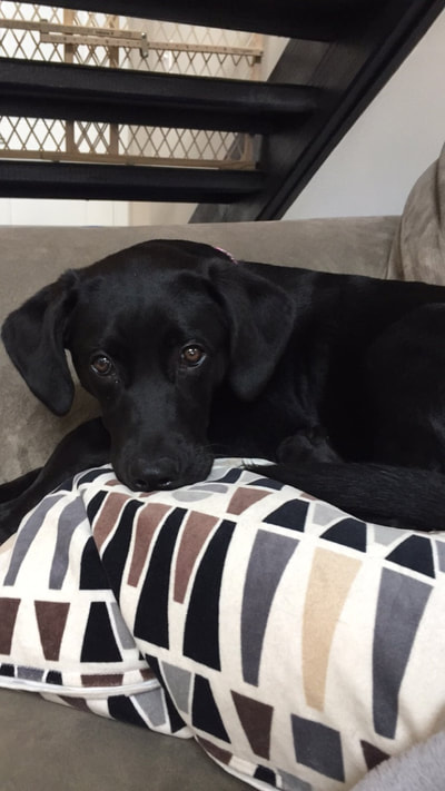 Hello There On This Day Last Year My Fiance And I Adopted A 3 Month Old Black Lab Minpin Mix From Your Agency She Now Goes By Piper Now And She Has